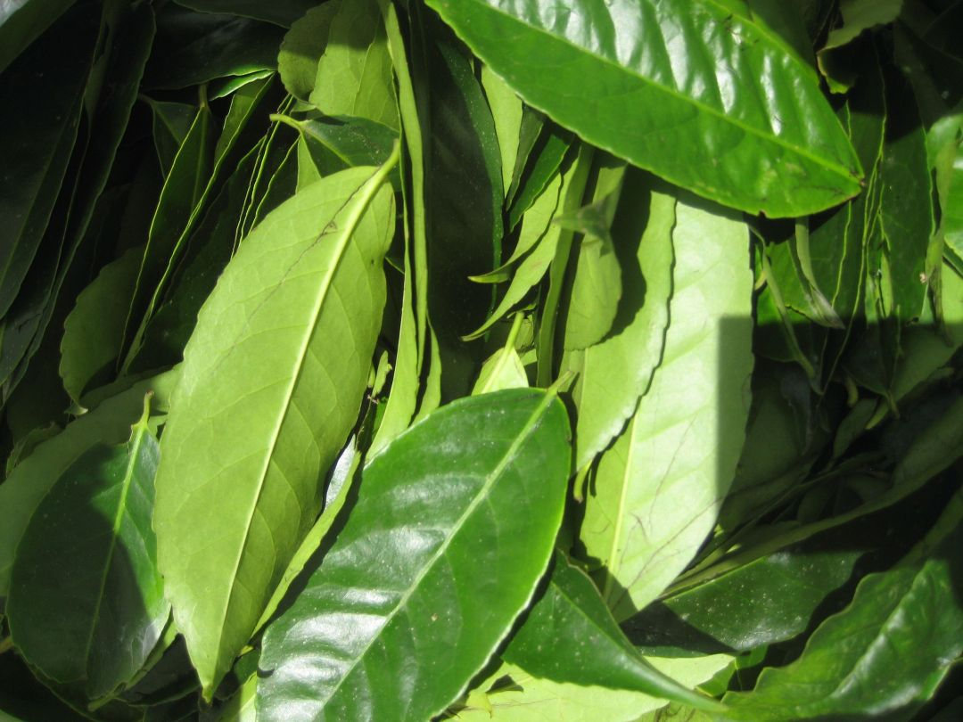 Leaves_of_Ilex_guayusa