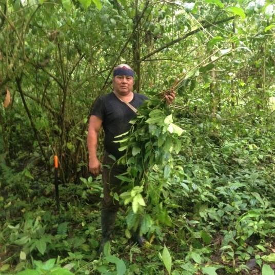 Harvesting fresh wayusa leaves